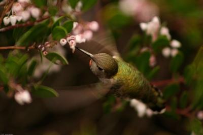 Anna's Hummingbird by Ben Wilson